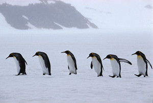 Counting of penguins